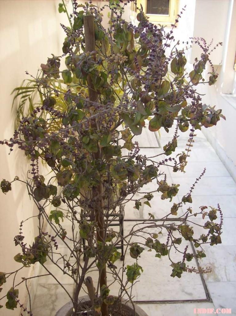 TULSI Medicinal Healing Ayurvedic Herb